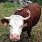 Una vacca col fucile