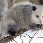 Il grasso opossum