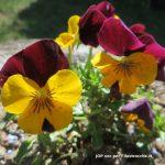 Le prime violette