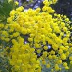 Qual è il Simbolo della Festa della Donna: la mimosa
