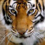 Le tre tigri