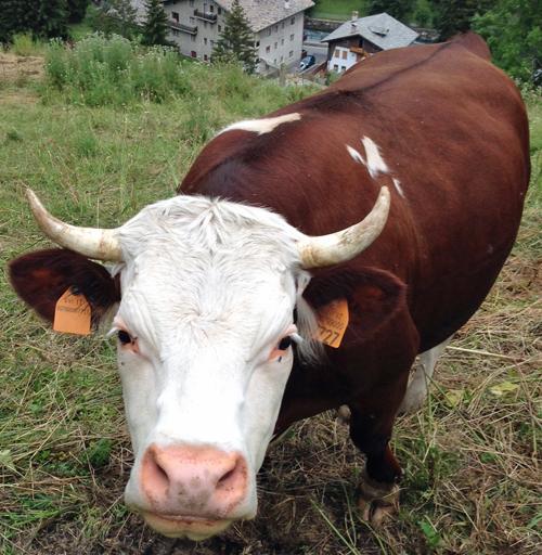 vacca col fucile