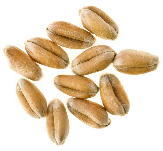Storia di un chiccolino di grano