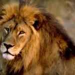 Il leone va alla guerra