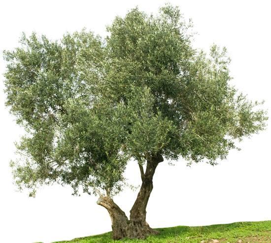 La canzone dell'ulivo