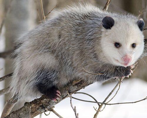 grasso opossum