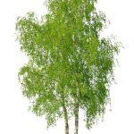 Il pino e la betulla