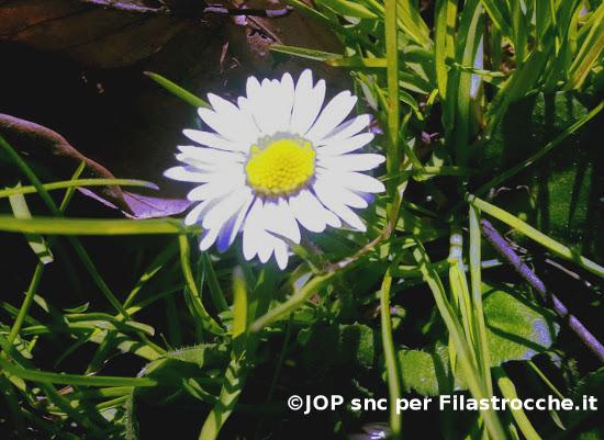 Piccola margheritina