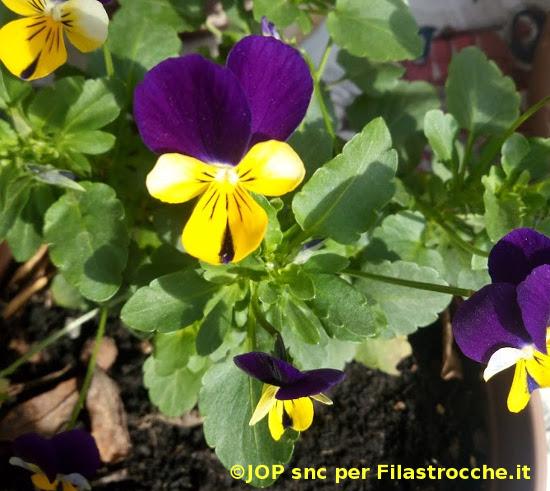 prime viole