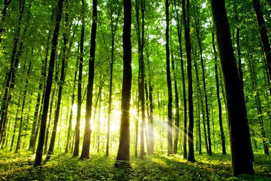 radiolina nel bosco