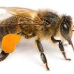 L'ape chiacchierina