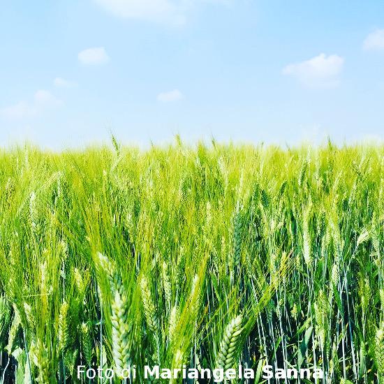 Filastrocca del grano