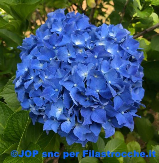 Ortensia blu