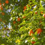 L'arancio