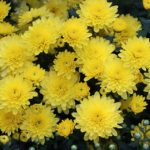 Il crisantemo