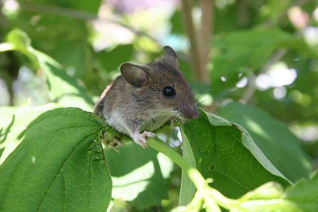 Il topolino