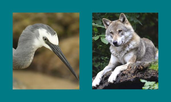 Il lupo e l'airone