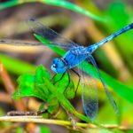 La libellula
