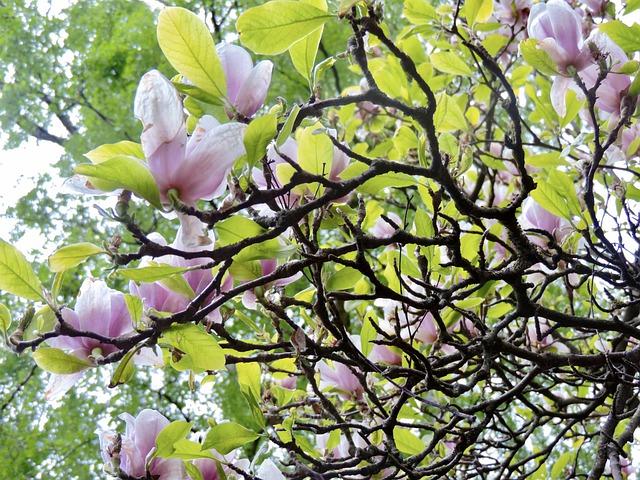 Tu, maestosa Magnolia