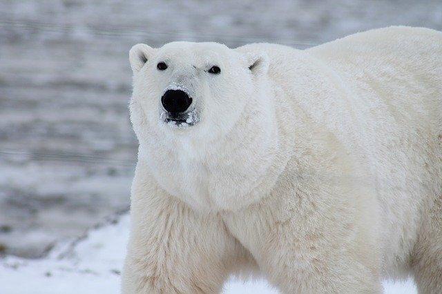 Filastrocca dell'orso bianco