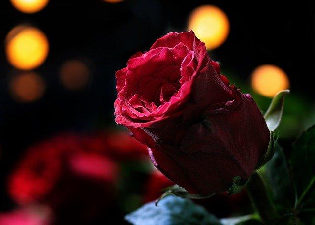 Tu come una rosa