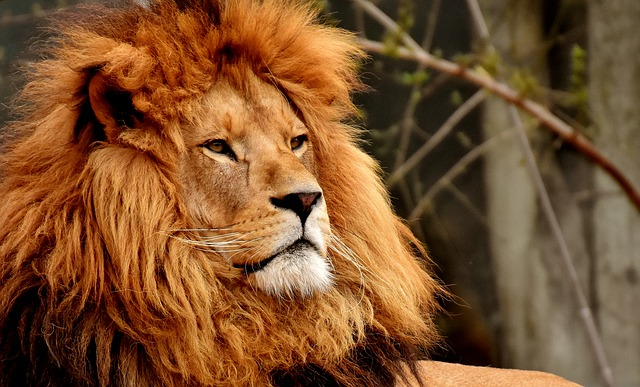 Il leone di Gaione