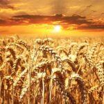 I giorni del grano