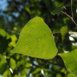 Le foglie del pioppo