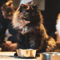 Chi è il Gatto Mammone