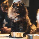 Chi è il Gatto Mammone?