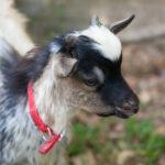 Capra tibetana come animale domestico