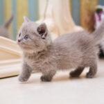 Tutto sul gatto munchkin