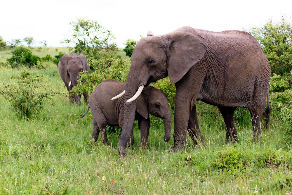 nonni elefante